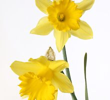 two yellow daffodils by OldaSimek
