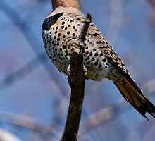 Norther Flicker - Ottawa Ontario by Michael Cummings