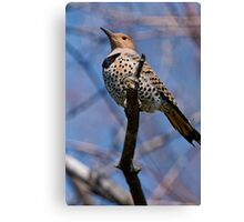 Norther Flicker - Ottawa Ontario Canvas Print