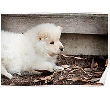 Finnish Lapphund Puppy Poster
