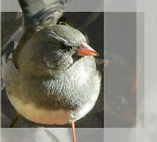 The Little Dark-eyed Junco by Jean Gregory  Evans