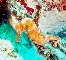 Orange Caribbean Sea Horse by Amy McDaniel