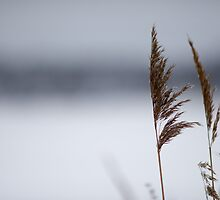 Reeds in winter by Johan Hagelin