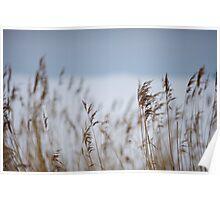 Reeds in focus Poster