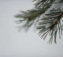 Pine and Snow by Johan Hagelin