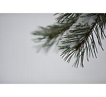 Pine and Snow Photographic Print