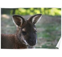 Wallaby Study Poster