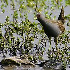 Australian Spotted Crake by Biggzie