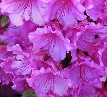 Bright Pink Azaleas by art2plunder