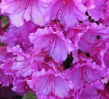 Bright Pink Azaleas by art2plunder