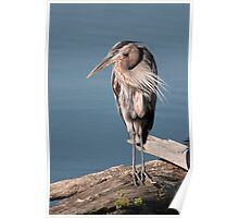 Great Blue Heron #3 Poster