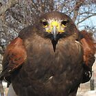 Harris Hawk 01 by janetmarston