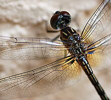 Dragonfly Close-up by CarmenLygia