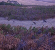 roos in the gloaming by badgerrun
