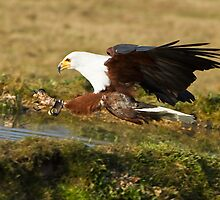 African fish eagle ( captive ) HCT Andover by koicarp1