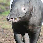 Tapir in London Zoo by ellismorleyphto