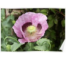 Purple Poppy Surrounded by Foliage Poster