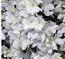 White Azalea Flowers by roadsidestills