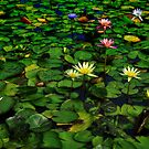 Lily Pond by Peter Hammer