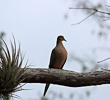Mourning Dove by D R Moore