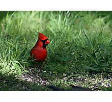 Northern Cardinal In My Backyard Photographic Print