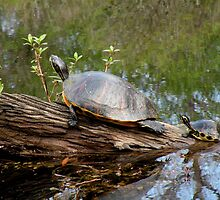 Slider Turtle with Baby by Rosalie Scanlon