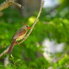 Cardinalis Cardinalis - Female Northern Cardinal | Center Moriches, New York  by © Sophie W. Smith