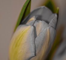 Tulip - macro by Tracey  Dryka
