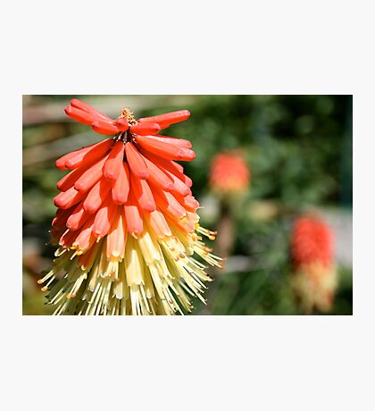 Fire Blossoms  Photographic Print