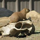 The Prairie Dog's Conquest by shutterbug2010