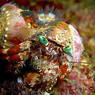 "Decorator Crab at ""Arkdive"" - Okinawa, Japan by Michael Powell"