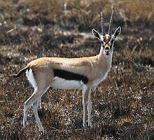 Thomson's Gazelles, Serengeti, Tanzania.  by Carole-Anne