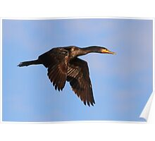 020610 Double Crested Cormorant Poster