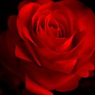 One Rose Red. by Vitta