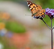 Painted Lady by Sarah-fiona Helme