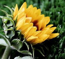 Sunflower 1 by Nicole Barnes