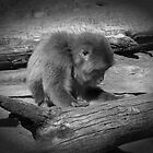 Japanese Macaque by Adam Spence
