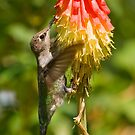 Hummingbird on Red Hot Poker by Diana Graves Photography