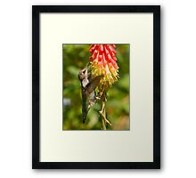 Hummingbird on Red Hot Poker Framed Print
