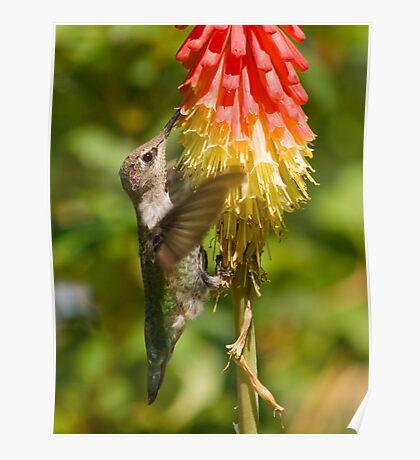 Hummingbird on Red Hot Poker Poster