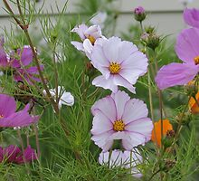 Cosmos and California Poppies by art2plunder