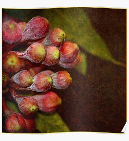 Corymbia ficifolia    Eucalyptus Poster