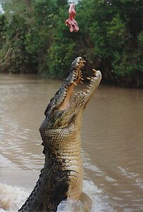 Jumping Crocodile