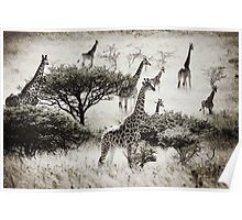 Africa Giraffes at Tala Poster