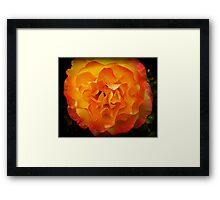 Two tone Rose - Spring. Oct. 2009 Framed Print