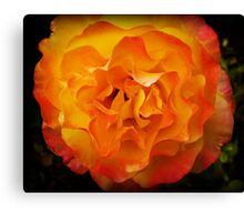 Two tone Rose - Spring. Oct. 2009 Canvas Print