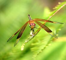 Top End Dragon Fly by Lynette Higgs