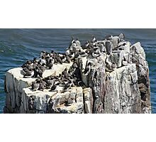 Guillemots on a Rock Stack Photographic Print