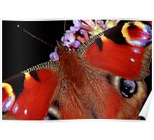 The Peacock Butterfly Poster