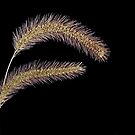 Wild grass 2..... by DaveHrusecky